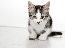 Cat lies and looks into camera Stock Photography