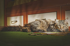 Cat lies and looks on in the face Stock Photography