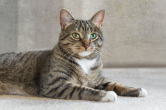 Cat Lies nacional en la alfombra que mira el espectador Imagen de archivo