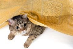 The cat lies under a yellow terry towel stock images