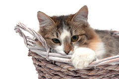Cat lies in a wicker basket on a white background Stock Images