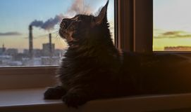 The cat lies on the windowsill and sniffs fume, smoke from a factory chimney. Concept of air pollution, clean air. The cat lies on the windowsill and sniffs royalty free stock photo
