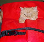 Cat in a lifejacket. Its well known that cats  have a specific feature to climb wherever they want ,and of this place for this cat  was lifejacket ,which was Royalty Free Stock Images