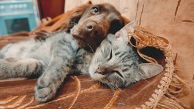 Cat and lifestyle a dog are sleeping together funny video. cat and dog friendship indoors . pets friendship and love cat