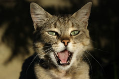 Cat-like Sol-fa. A lady-cat meows, expressing thus the attitude toward outward things Royalty Free Stock Image