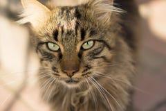 Cat Like um leão Fotos de Stock