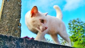 White cats on the wall. A cat likes to walk on a fence or a wall to protect from a dog stock photography