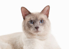 Cat. Lilac Thai cat on white background Stock Image
