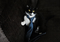 Cat in a limousine. Black cat on back sitting of the car Royalty Free Stock Photos
