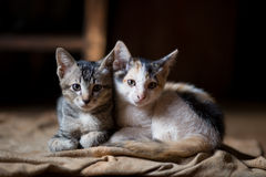Cat,A little cats,Twins cats royalty free stock image