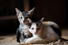 Cat,A little cats,Twins cats royalty free stock photo