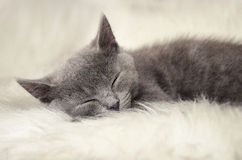Sleeping cat. Little cute cat sleeping on the fur Royalty Free Stock Photography