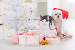 Cat and little dog wearing Santa Claus hat. Cat and cute little dog Maltese sitting with gifts near Christmas tree wearing Santa Claus hat Stock Photos