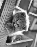 Cat a little gray scottie play. Gray little kitten play with nail Royalty Free Stock Photography