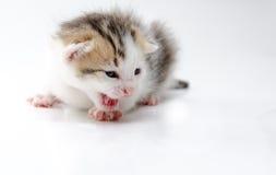 Cat. Little newborn kitten. On white background Royalty Free Stock Images