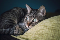 Cat liying on the top of a couch Royalty Free Stock Photography