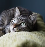 Cat liying on the top of a couch Royalty Free Stock Image