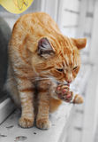 Cat llicking his paw Stock Photography