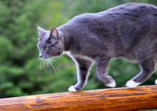 Cat on log rail. Gray cat walking along a milled log railing Stock Photo
