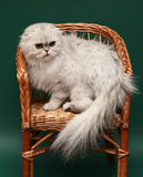 Cat. Long-haired Scottish fold. Dogs and cats in the most different situations and positions. Cat. Long-haired Scottish fold Stock Images