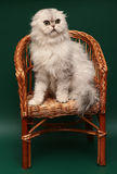 Cat. Long-haired Scottish fold. Stock Images