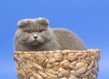 Cat. Long-haired Scottish fold. Dogs and cats in the most different situations and positions. Cat. Long-haired Scottish fold Royalty Free Stock Photography