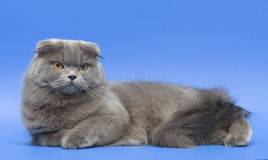 Cat. Long-haired Scottish fold. Dogs and cats in the most different situations and positions. Cat. Long-haired Scottish fold Stock Photography