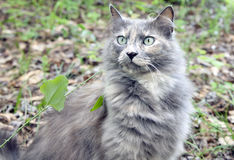 Cat. Longhaired, grey cat on the ground Stock Photo