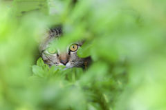 Cat look  behind the leaf. Cat look  behind the green leaf Royalty Free Stock Image