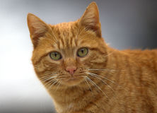 Cat with a look. Domestic cat looking in camera Stock Photo