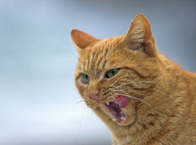 Cat with a look. Domestic cat wawing after fleaning herself Royalty Free Stock Photography