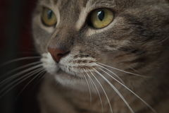 Cat look. Green-yellow cat eyes observe Stock Photo