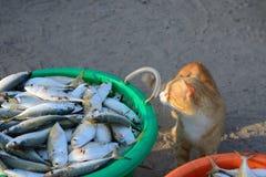 Cat look at tuna fish Royalty Free Stock Photo