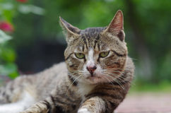 Cat look at you. A grey domestic cat lie in the garden Royalty Free Stock Images