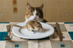 Cat lookin to little gerbil mouse on the table. Concept of prey, food, pest. Royalty Free Stock Photos