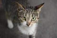 Cat Looking Royalty-vrije Stock Afbeeldingen