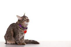 Cat Looking. Towards white space - easy to expand for use Royalty Free Stock Photo