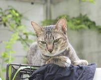Cat Looking Fotografie Stock Libere da Diritti