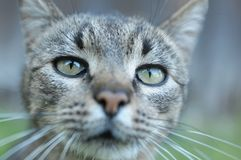 A cat looking ahead. Cat with focus set on the eyes royalty free stock photos