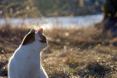 Cat looking backward. In golden light Royalty Free Stock Images