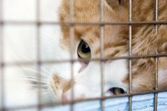 Cat looking through the bars. Tabby red cat looking up as he's held through the bars of his cage Stock Image