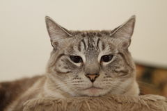 Cat looking at you  Royalty Free Stock Images