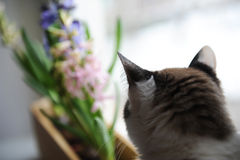 Cat looking at blooming hyacinth flowers on the windowsill. Back view stock images