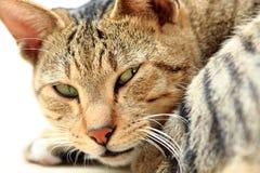 Cat looking at camera Stock Image