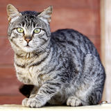 Cat looking at the camera. A beautiful tiger cat is looking at the camera Stock Image