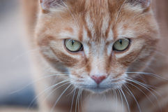 Cat looking at the camera Royalty Free Stock Image