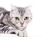 Cat looking at camera Stock Images