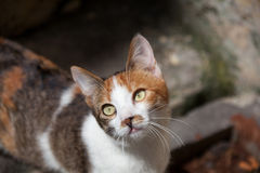 Cat looking at camera Royalty Free Stock Photography