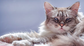 Cat looking at the camera, with blue eyes, over purple and blue background stock photos