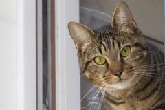 Cat looking at camera Royalty Free Stock Image